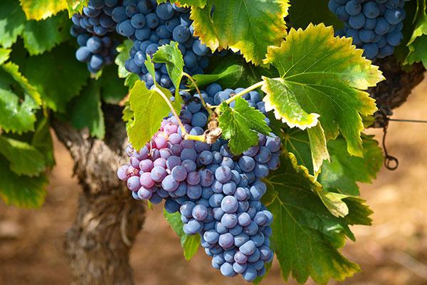 Rheingauer Winzer laden in ihre Vinotheken zum Vorkosten ein